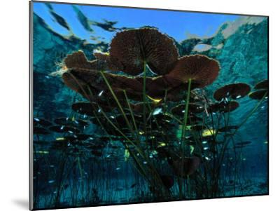 Long-Stemmed Water Lilies Reach for the Hot Mexican Sun-George Grall-Mounted Photographic Print