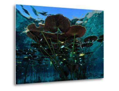 Long-Stemmed Water Lilies Reach for the Hot Mexican Sun-George Grall-Metal Print