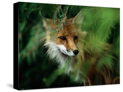 Fox with Porcupine Quills in its Nose-Medford Taylor-Stretched Canvas Print