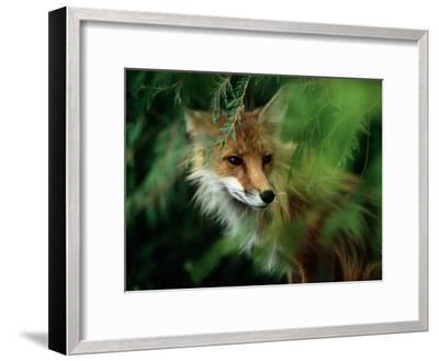 Fox with Porcupine Quills in its Nose-Medford Taylor-Framed Photographic Print