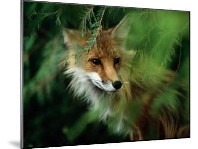 Fox with Porcupine Quills in its Nose-Medford Taylor-Mounted Photographic Print