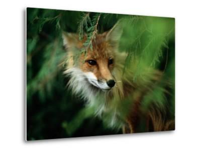 Fox with Porcupine Quills in its Nose-Medford Taylor-Metal Print