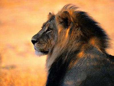 Adult Male African Lion-Nicole Duplaix-Photographic Print