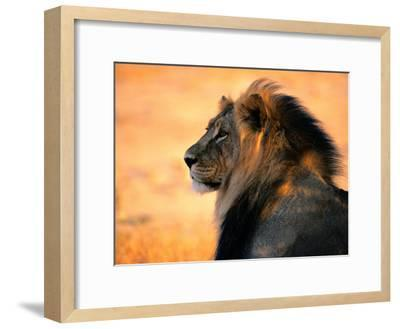 Adult Male African Lion-Nicole Duplaix-Framed Photographic Print