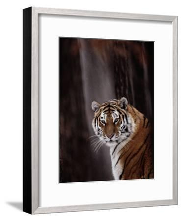 Siberian Tiger (Panthera Tigris Altaica)-Dr^ Maurice G^ Hornocker-Framed Photographic Print
