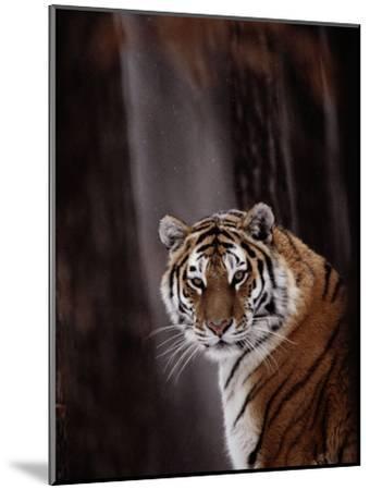 Siberian Tiger (Panthera Tigris Altaica)-Dr^ Maurice G^ Hornocker-Mounted Photographic Print
