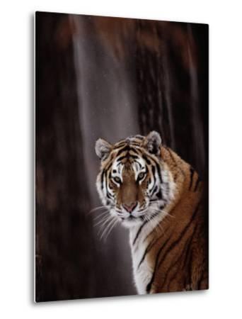 Siberian Tiger (Panthera Tigris Altaica)-Dr^ Maurice G^ Hornocker-Metal Print