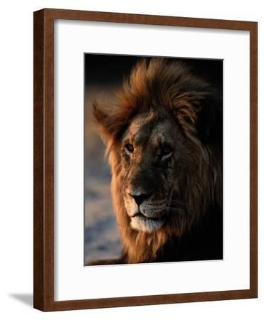 Male African Lion-Beverly Joubert-Framed Photographic Print