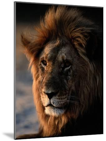 Male African Lion-Beverly Joubert-Mounted Photographic Print