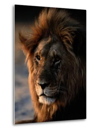 Male African Lion-Beverly Joubert-Metal Print