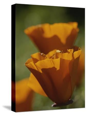 Close View of California Poppies-Marc Moritsch-Stretched Canvas Print