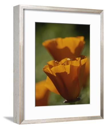 Close View of California Poppies-Marc Moritsch-Framed Photographic Print