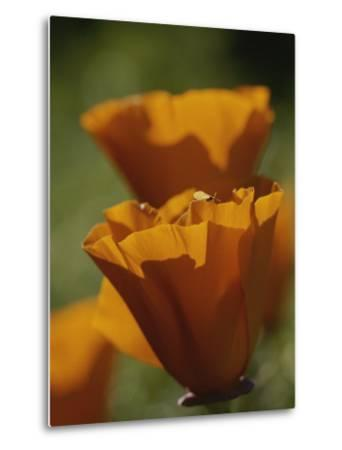 Close View of California Poppies-Marc Moritsch-Metal Print