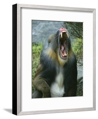 A Yawning Mandrill-Roy Toft-Framed Photographic Print