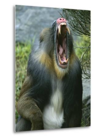 A Yawning Mandrill-Roy Toft-Metal Print