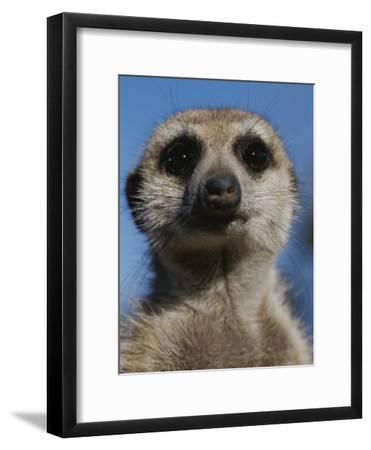 A Close View of a Meerkat (Suricata Suricatta)-Mattias Klum-Framed Photographic Print