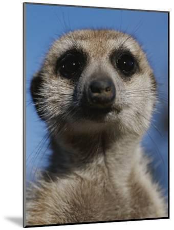 A Close View of a Meerkat (Suricata Suricatta)-Mattias Klum-Mounted Photographic Print