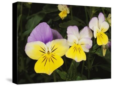 Close View of Pansy Blossoms-Darlyne A^ Murawski-Stretched Canvas Print