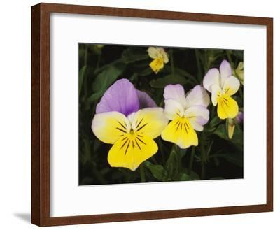 Close View of Pansy Blossoms-Darlyne A^ Murawski-Framed Photographic Print