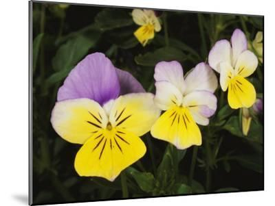 Close View of Pansy Blossoms-Darlyne A^ Murawski-Mounted Photographic Print