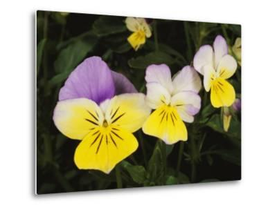 Close View of Pansy Blossoms-Darlyne A^ Murawski-Metal Print