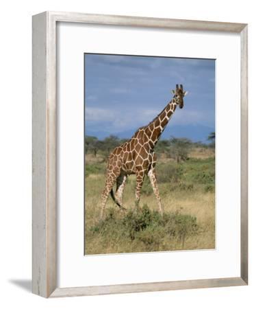 A Reticulated Giraffe on a Samburu Savanna-Roy Toft-Framed Photographic Print