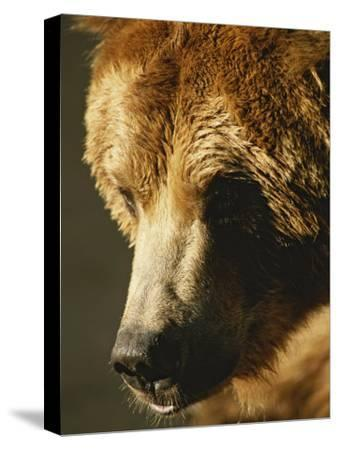 A Close View of the Face of a Grizzly Bear-Tom Murphy-Stretched Canvas Print