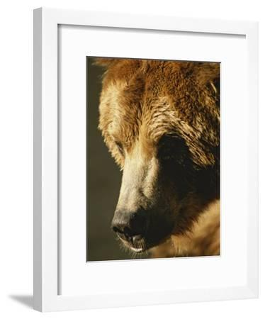 A Close View of the Face of a Grizzly Bear-Tom Murphy-Framed Photographic Print