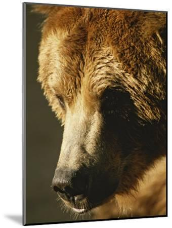 A Close View of the Face of a Grizzly Bear-Tom Murphy-Mounted Photographic Print