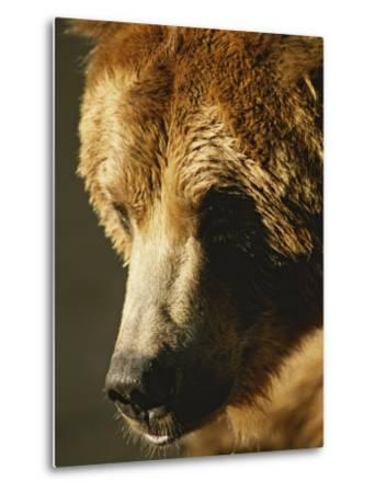 A Close View of the Face of a Grizzly Bear-Tom Murphy-Metal Print