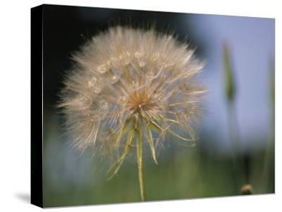 A Close View of a Dandelion Seed Head-Heather Perry-Stretched Canvas Print