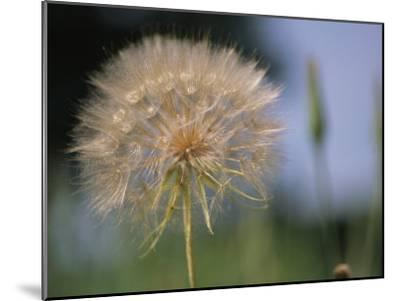 A Close View of a Dandelion Seed Head-Heather Perry-Mounted Photographic Print