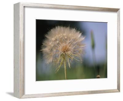 A Close View of a Dandelion Seed Head-Heather Perry-Framed Photographic Print