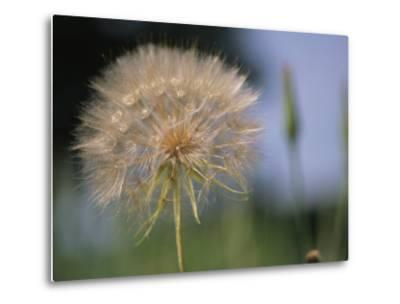 A Close View of a Dandelion Seed Head-Heather Perry-Metal Print