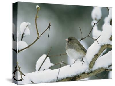 A Female Dark-Eyed Junco on a Snow-Covered Branch-Tim Laman-Stretched Canvas Print