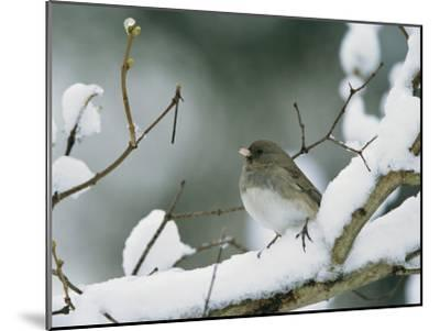 A Female Dark-Eyed Junco on a Snow-Covered Branch-Tim Laman-Mounted Photographic Print