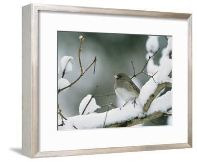A Female Dark-Eyed Junco on a Snow-Covered Branch-Tim Laman-Framed Photographic Print