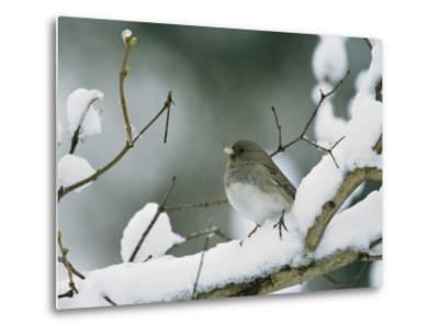 A Female Dark-Eyed Junco on a Snow-Covered Branch-Tim Laman-Metal Print