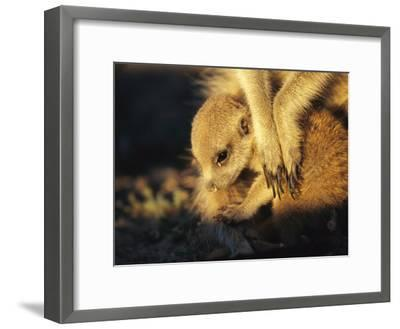A Baby Meerkat Snuggles up to its Caretaker for Warmth and Safety-Mattias Klum-Framed Photographic Print