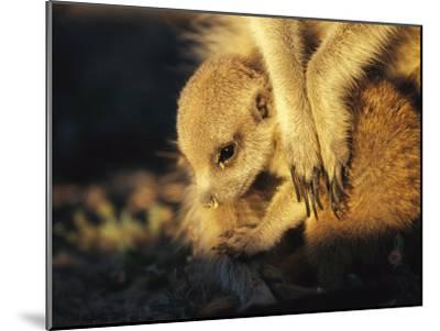 A Baby Meerkat Snuggles up to its Caretaker for Warmth and Safety-Mattias Klum-Mounted Photographic Print