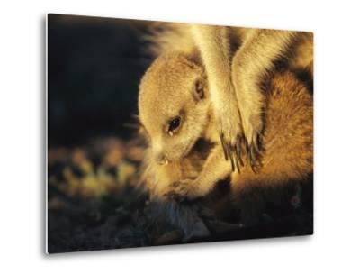 A Baby Meerkat Snuggles up to its Caretaker for Warmth and Safety-Mattias Klum-Metal Print