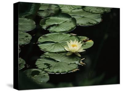 A Delicate Water Lily Flower Floating Near Lily Pads-Michael S^ Lewis-Stretched Canvas Print