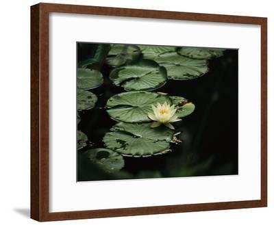 A Delicate Water Lily Flower Floating Near Lily Pads-Michael S^ Lewis-Framed Photographic Print