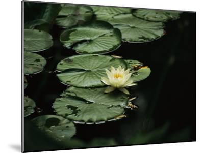 A Delicate Water Lily Flower Floating Near Lily Pads-Michael S^ Lewis-Mounted Photographic Print