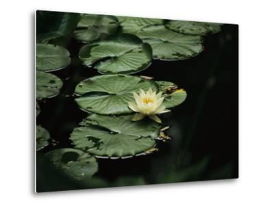 A Delicate Water Lily Flower Floating Near Lily Pads-Michael S^ Lewis-Metal Print
