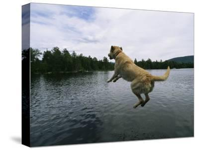A Yellow Labrador Retriever Jumps into a Lake-Heather Perry-Stretched Canvas Print