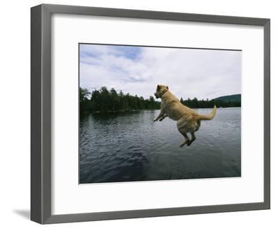 A Yellow Labrador Retriever Jumps into a Lake-Heather Perry-Framed Photographic Print