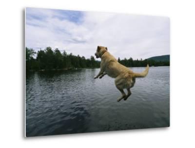 A Yellow Labrador Retriever Jumps into a Lake-Heather Perry-Metal Print