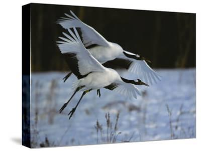 A Pair of Japanese or Red-Crowned Cranes Coming in for a Landing-Tim Laman-Stretched Canvas Print