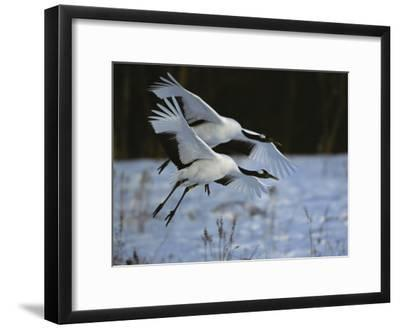 A Pair of Japanese or Red-Crowned Cranes Coming in for a Landing-Tim Laman-Framed Photographic Print
